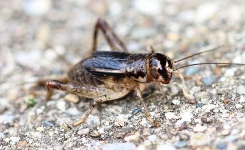 Japanese burrowing cricket