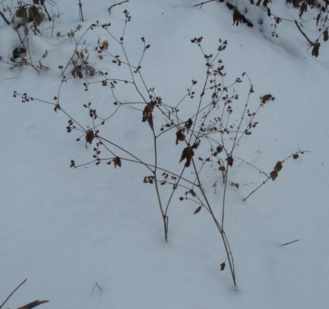 Black snakeroot plants in winter. Don't exactly jump out at you, do they?