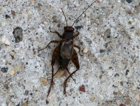 Variegated ground cricket