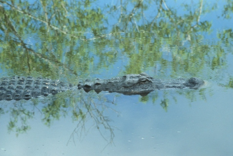 American alligator. One of the following studies places the split between the reptilian crocodile-dinosaur-bird group and the lizard-snake group at the very end of the Paleozoic Era.