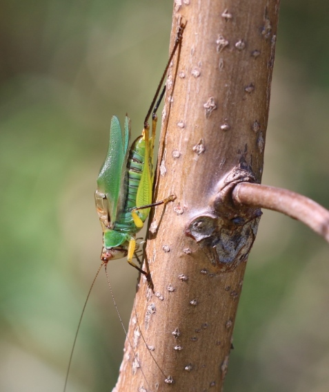 Black-legged meadow katydid