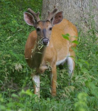 When you hold still and allow a deer to approach, it will stare at you and occasionally stomp a foot as though to startle you into moving and revealing yourself.