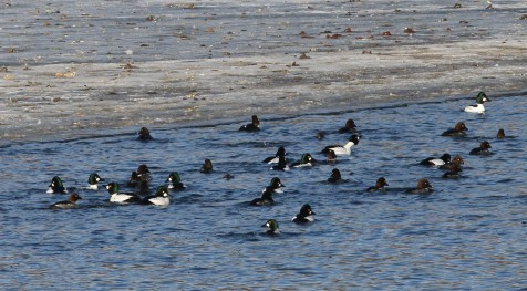 Common goldeneyes, black and white males with brown headed females