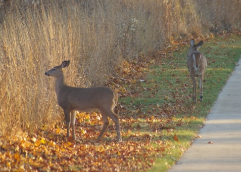 Doe and fawn. By November, the fawns' spots are gone.