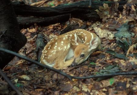 Wet forest litter from a recent rain foiled this fawn's camouflage. Fawn spots form individualized patterns that permit recognition of individuals as long as they last.
