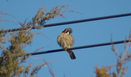Among the many interesting points from the following study is that falcons like this kestrel are more closely related to parrots than they are to hawks and eagles.