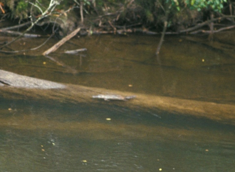 If I returned, I would have a better camera. The platypus's duckbill-like snout is on the left end.