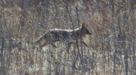 Coyotes once were bigger and more carnivorous than they are today, according to the following study.