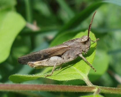 Male green-striped grasshopper