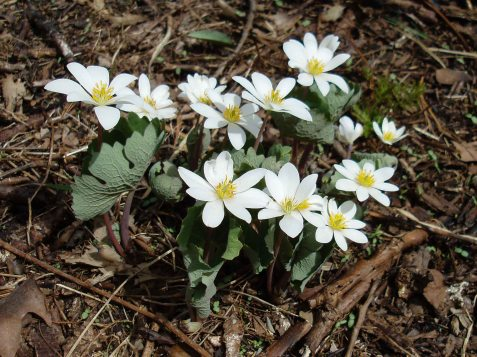 Bloodroot is a popular subject for nature photographers. Seed-carrying ants have been spreading this species in several directions from one initial colony in the south savanna.