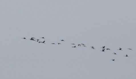 A flock of sandhill cranes flies over Mayslake Forest Preserve.
