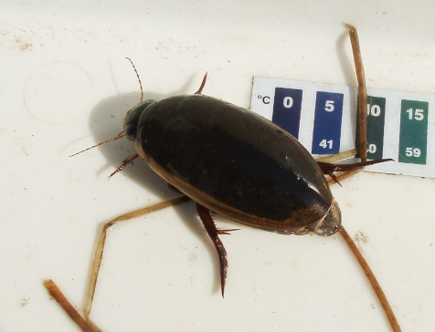 I have caught and released several of the large predaceous diving beetles, Dytiscus hybridus.