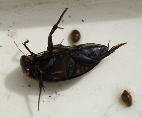 Similar in size, this water scavenger beetle, Hydrophilus triangularis, was an addition to the preserve species list.