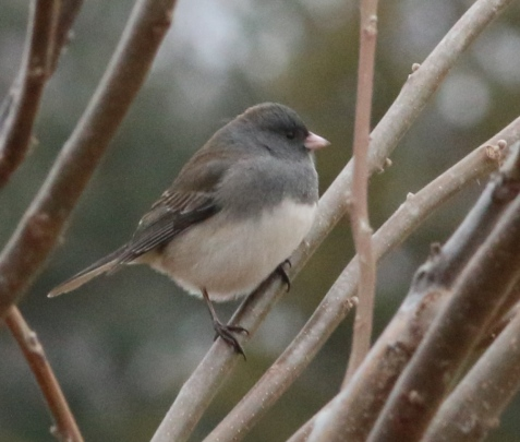 Dark-eyed juncos have begun to sing and to chase each other.