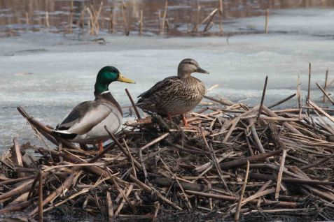 This mallard pair was more than ready, resting on a muskrat house in March with the ice still around them.