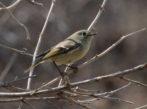Ruby-crowned kinglet at Fermilab, Sunday