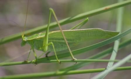 Texas bush katydid