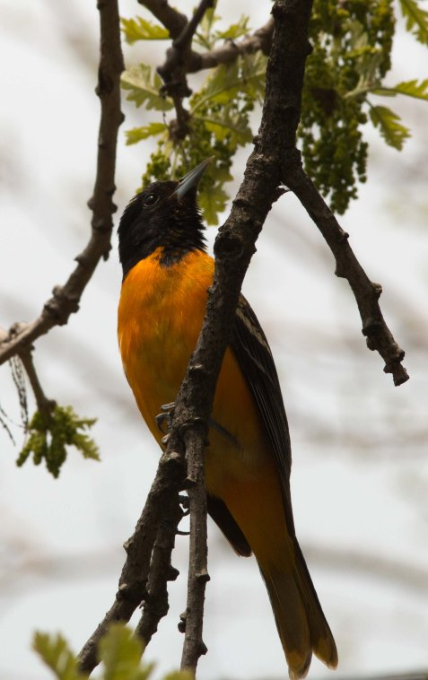 Baltimore orioles are scattered through all the woodlands. Some will stay and nest.