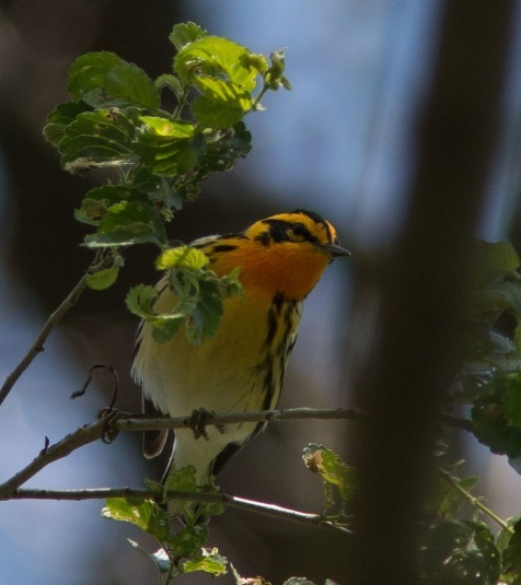 Several blackburnian warblers stop at Mayslake every spring.