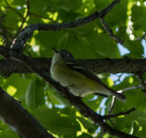 Blue-headed vireos trickle through in spring, but will nest farther north.