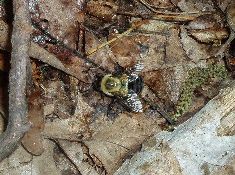 This Bombus impatiens queen still had not found a nest site, and was prospecting the forest floor.