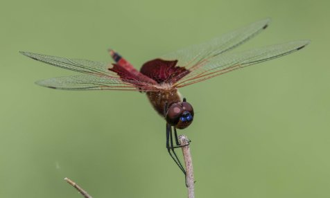 The Carolina saddlebags is one such likely migrant.