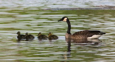 This Canada goose brood appeared on Mays' Lake.