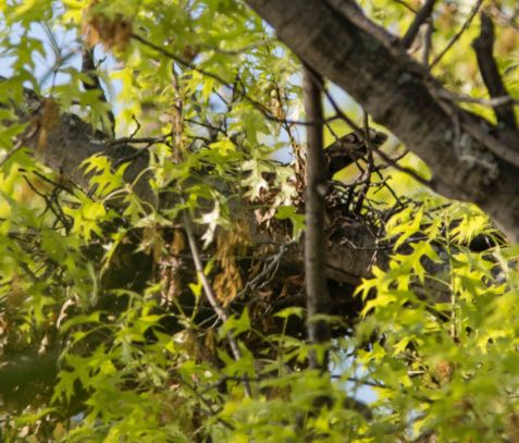 The Cooper's hawk nest is under incubation just off the preserve in a neighbor's yard.