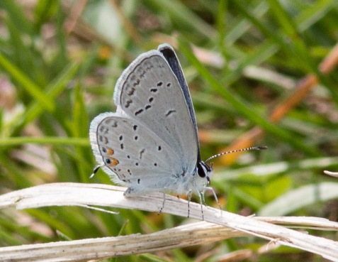 Though I think of the eastern tailed-blue as a late-summer butterfly, that is the second generation of the year. Here is one of the early-season firsters.