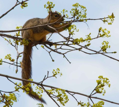 A fox squirrel feeding on flowers