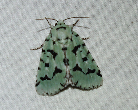 Two of these beautiful, strikingly marked green moths came to my station. Their English name is appropriate: green marvel.