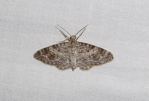 The unadorned carpet was one of the moths commonly encountered during the day. One came to the sheet as well.