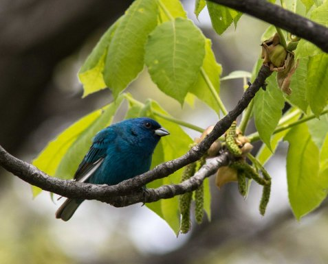 At least 3 pairs of indigo buntings will stay to nest at Mayslake.
