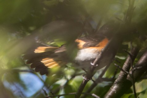Though the fanned tail is the main part of the American redstart visible in this photo, that bit is worth sharing. This bird's specialty is flashing its wings and tail to flush insect prey into flight, so that it acrobatically can chase them down.