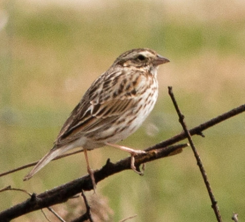 Migration is accelerating. This unusually pale savannah sparrow stopped by Mayslake Forest Preserve a couple weeks ago.