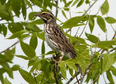 Savannah sparrows haven't nested at Mayslake yet, but one day last week the meadows and prairies were full of them.