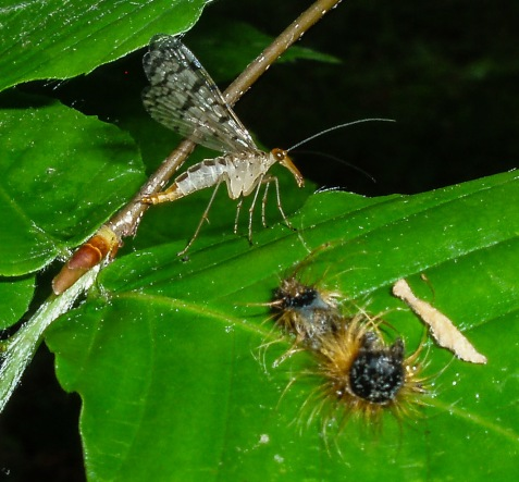 I interrupted this female scorpionfly's feed on an emptied caterpillar skin.