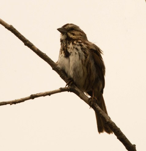 Song sparrows, among other birds, have been singing like crazy.
