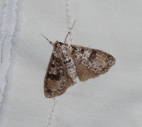 The splendid palpita has attractive patches of pinkish brown on all four wings.