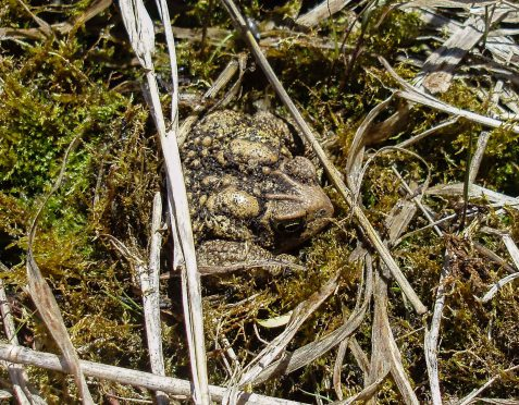 We were impressed when Toad immediately slid his or her hind legs under the moss and wriggled down in until he or she was mostly covered.