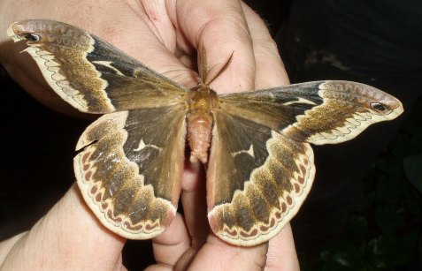 The biggest was this tulip-tree silkmoth which came to one of the Purdue lights.