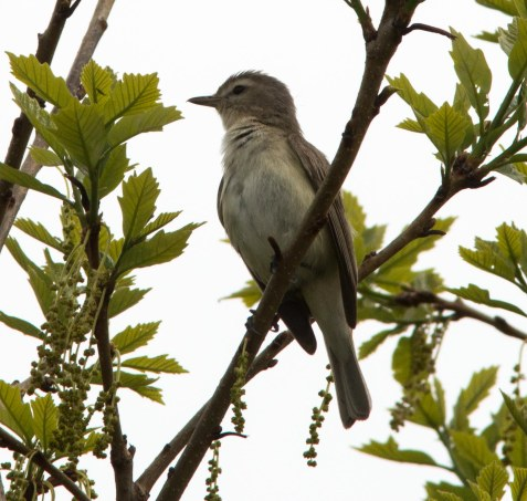 Warbling vireos are another recent arrival.