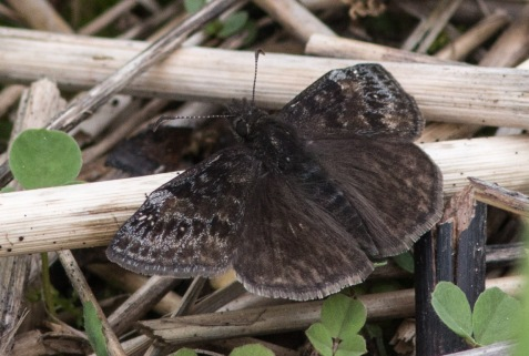Wild indigo dusky wings frequently may be encountered at Mayslake early in the season.