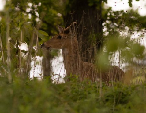 This buck has been hanging around for a couple weeks, and may have decided to make the preserve his summer home.