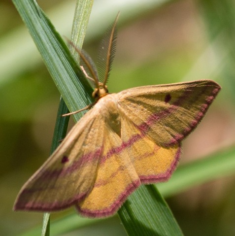 The chickweed geometer is a recent addition to the preserve's insect list.
