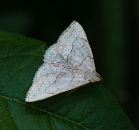Early zanclognatha moths are appearing in good numbers this year in Mayslake's woodlands.
