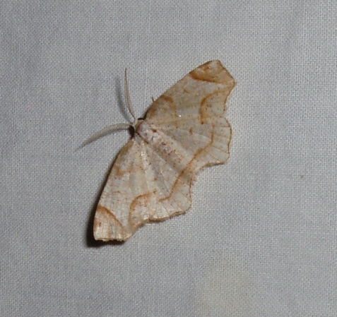 One example was the friendly probole, a moth in the inchworm family. Here is a relatively pale example.
