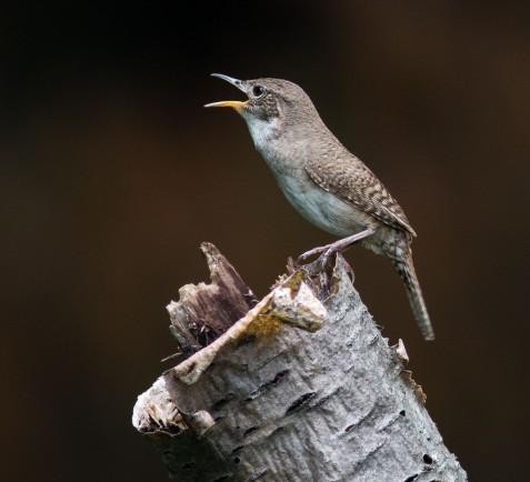 A house wren has been active in the south part of the preserve.