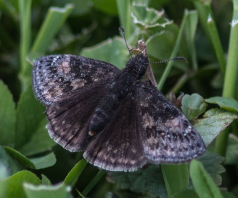 This skipper put me through a long session with the references. I concluded that it is Juvenal's dusky wing.