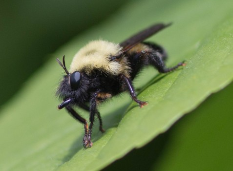 Viewed dorsally, this Laphria thoracica robber fly is a very effective bumblebee mimic. At this angle, however, we can see how it is alertly watching for passing prey. The flattened abdomen, impressive predatory beak, and odd antennae prove that this is no bee.